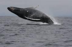 humpback-jump